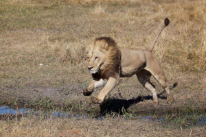 maned-lioness