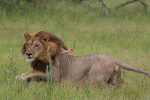 maned-lioness2